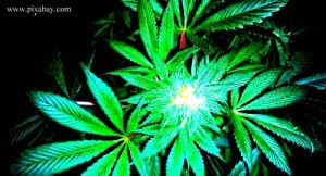 10. Cannabis_blog