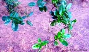 5. Tamanu tree_blog